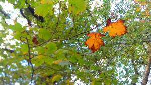 Wild service tree leaves in autumn