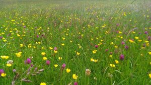 Buttercups and red clover