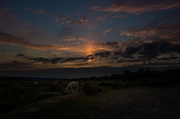 Sheep graze at sunset, Ashdown Forest