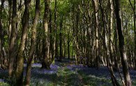 Bluebells, West Wood, Wivelsfield