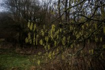 Hazel catkins, always one of the earliest harbingers of spring