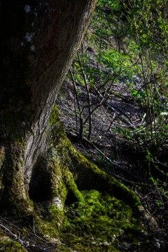 Ash roots